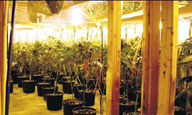 Marijuana Grow Op in Basement
